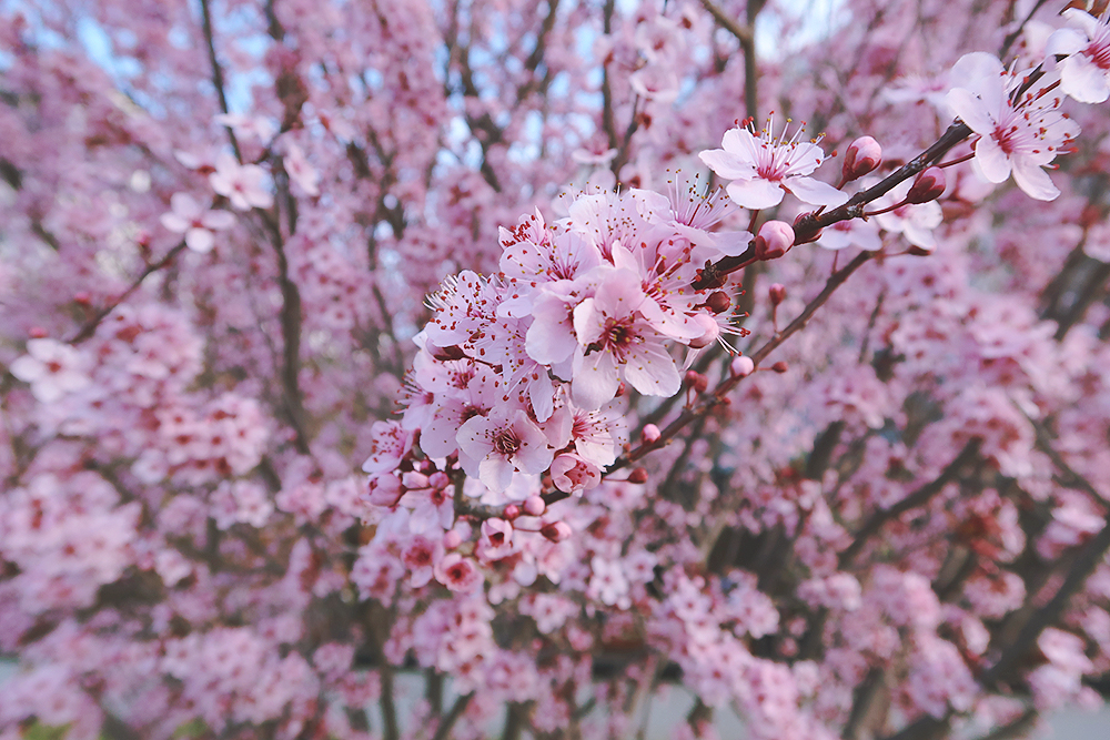 Cherry Blossoms Canberra